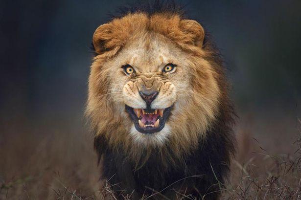 lion-main
